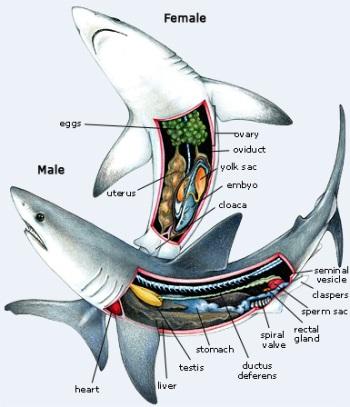 Gambar anatomi ikan hiu