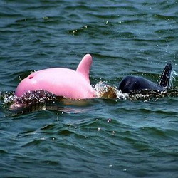lumba-lumba-berwarna-pink
